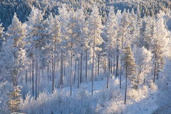 Skog med snö i träd och mark