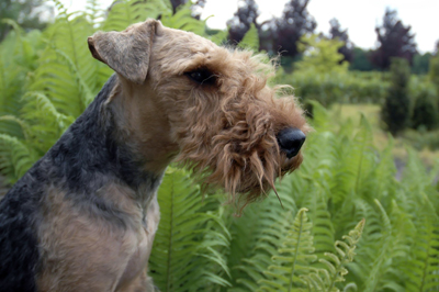 Welsh Terrier.jpg