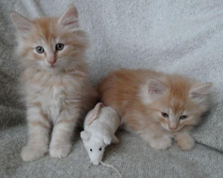 kattungar till salu stockholm