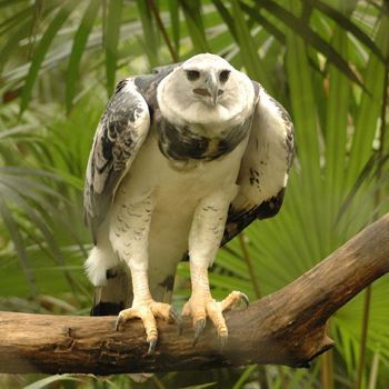 Harpia_harpyja_-Belize_Zoo-8-3c.jpg