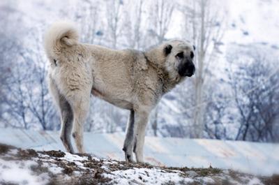 Anatolisk herdehund.jpg