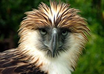 Philippine_Eagle_(Pithecophaga_jefferyi).jpg