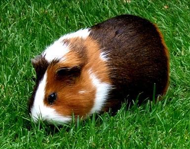guineapig-grass-green-1946806-l.jpg