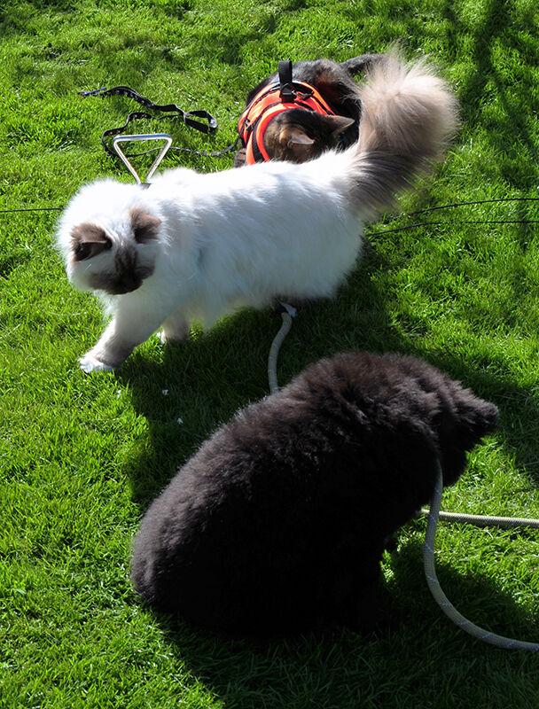 ... inte samma art som katten Lennon men det går rätt bra ändå. Bengalen  Aldo 984fc026fb9b2