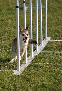 Norsk lundehund