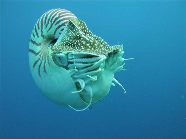 800px-Nautilus_profile.jpg