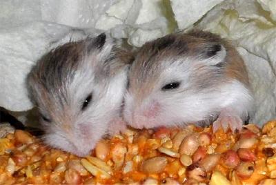 Roborovskis trivs ihop både som ungar och vuxna. Bilden visar två syskon som är 16 dagar gamla.