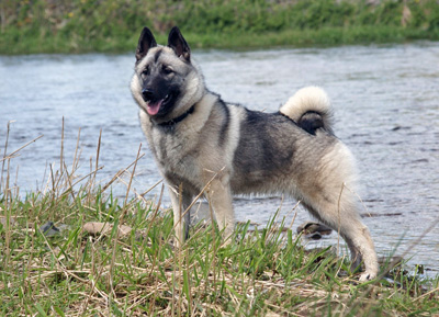 Norsk älghund, grå (gråhund)