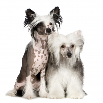 Chinese crested dog.jpg