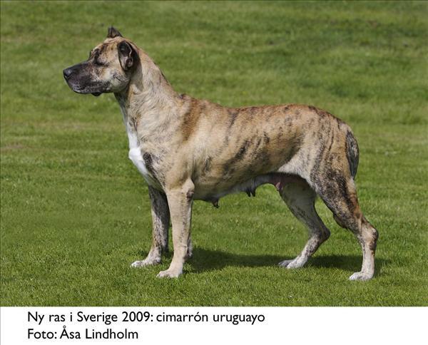 Cimarron uruguayo