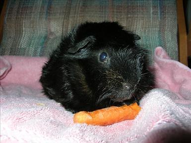 guinea-animals-domestic-1176712-l.jpg