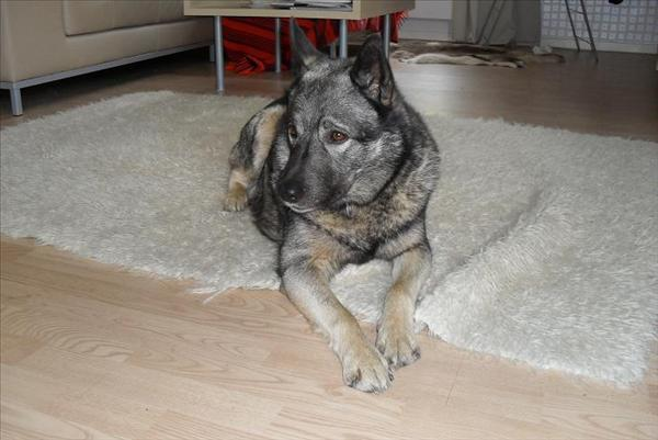 Se till att din vän får en mjuk och tjock bädd och lägg sköna filtar eller mattor på hundens favoritställen. Foto: Xondah