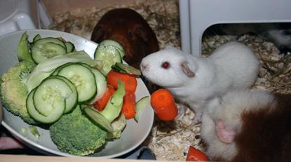 Grönsaker är den bästa vägen till att uppfylla marsvinens dagliga och mycket lilla c-vitaminbehov.