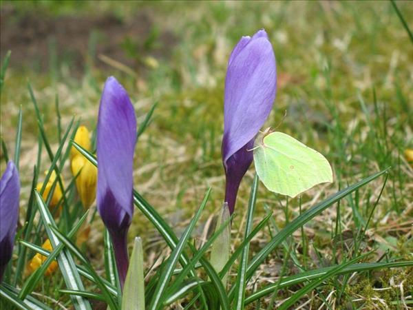 Bidrag 2 Fjäril på krokus