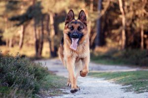 528369_german_shepherd.jpg