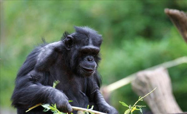 Schimpans. Foto: www.alotofphotos.com