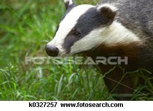 badger_~k0327257.jpg