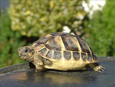 Grekisk landsköldpadda