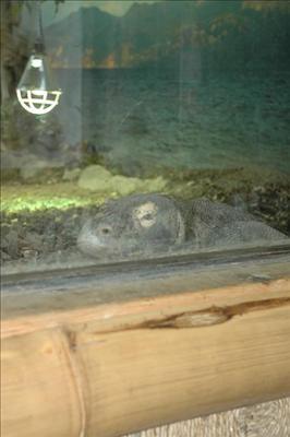 Komodovaran på Parken Zoo Eskilstuna