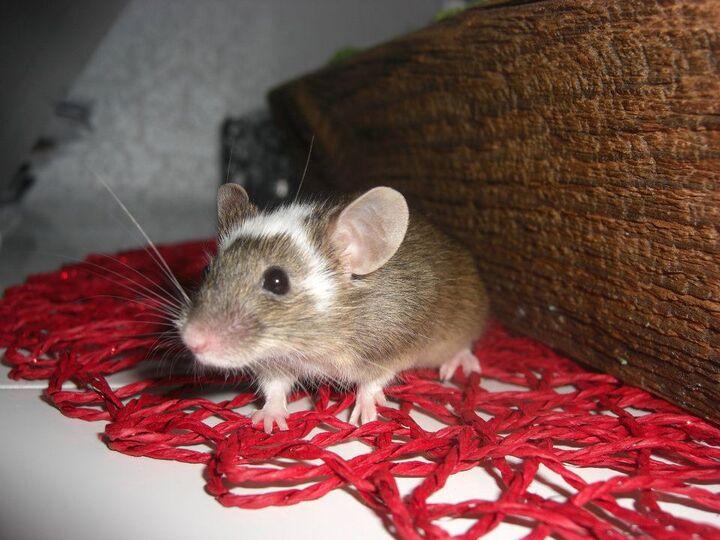 Naken mus vadur och vattuman