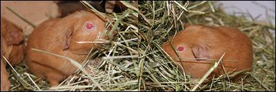 Marsvinsungar äter hö