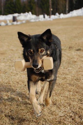 Lapsk vallhund4.jpg