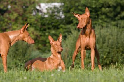 Faraohund