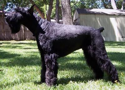 Riesenschnauzer, svart