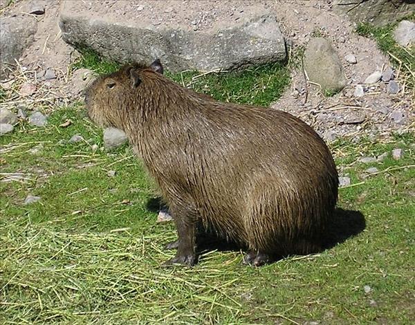 kapybara1.jpg
