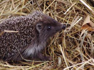 495723_hedgehog.jpg