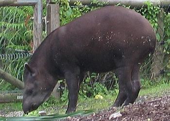 låglandstapir