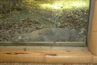 Komodovaran på Parken Zoo