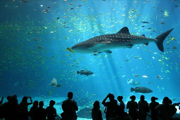 800px-Male_whale_shark_at_Georgia_Aquarium.jpg