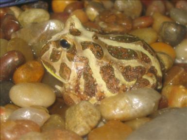 ({{Information |Description={{en|Pac Man frog}} |Source=Transferred from [http://en.wikipedia.org en.wikipedia] |Date=2007-08-08 (original upload date) |Author=Original uploader was Dancentury at [http://en.wikipedia.org en.wikipedi)