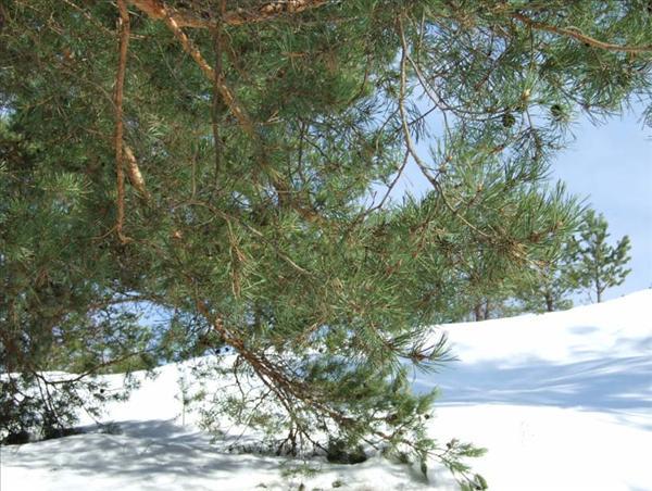 tall i snö 2010.jpg