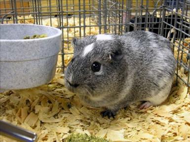rodents-guineapgs-1354645-l.jpg