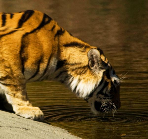 Tiger dricker vatten