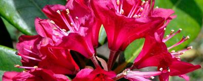 Rododenron_c.jpg