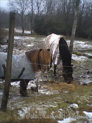 Hästar i vinterhage
