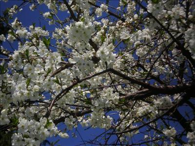 Bidrag 1 Körsbärsblommor