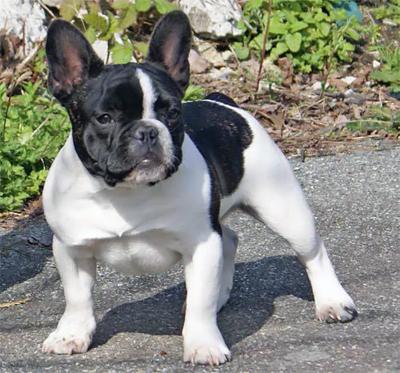 Fransk bulldogg.jpg
