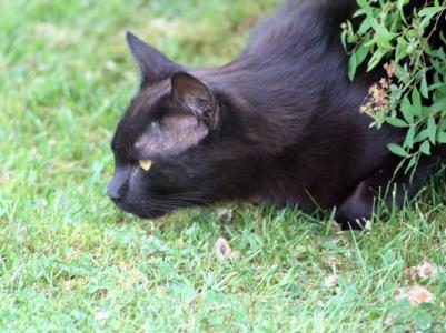 svart_katt_spanar.jpg