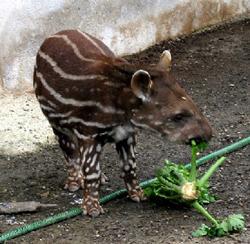Ungdjur av låglandstapir