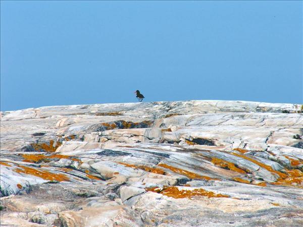 Strandskata. Foto: Leif Ljungdahl