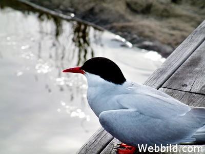 Silvertärna. Foto: www.webbild.com