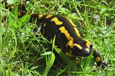 Eldsalamander (Salamandra salamandra) vuxen hona