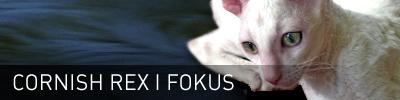 Sidhuvud för Cornish Rex iFokus. Länk till startsidan för denna sajt