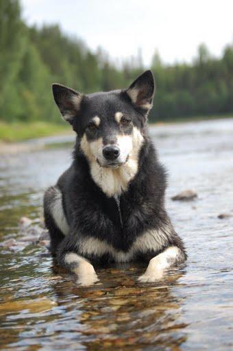 Lapsk vallhund1.jpg