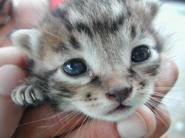 Herpesvirus nos gatos