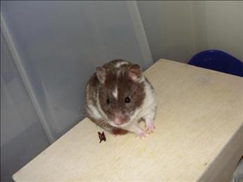 Vinnare Månadens Hamster Februari